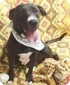 Labrador Retriever/Basset Hound Mix Dog for adoption in Lebanon, Maine - Brandy