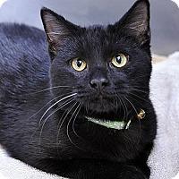 Domestic Shorthair Kitten for adoption in Fort Leavenworth, Kansas - Coal