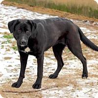 Labrador Retriever Dog for adoption in Franklin, Tennessee - CYPRESS