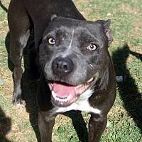 Adopt A Pet :: Cita - Phoenix, AZ