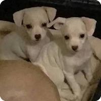 Adopt A Pet :: Giddy - Las Vegas, NV