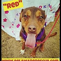 Adopt A Pet :: Red - Seaford, DE