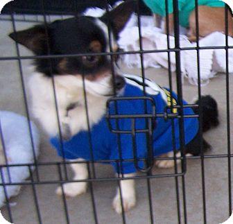Chihuahua Mix Dog for adoption in Greensboro, Georgia - Oreo