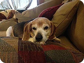 Beagle Dog for adoption in Overland Park, Kansas - Wonder