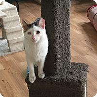 Adopt A Pet :: Ashton - Speonk, NY