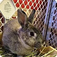 Adopt A Pet :: Koala - Los Angeles, CA