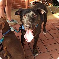 Adopt A Pet :: Thor-REDUCED ADOPTION FEE - West Orange, NJ