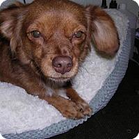 Adopt A Pet :: FOXY - Yucaipa, CA