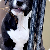 Adopt A Pet :: Miles - Alpharetta, GA