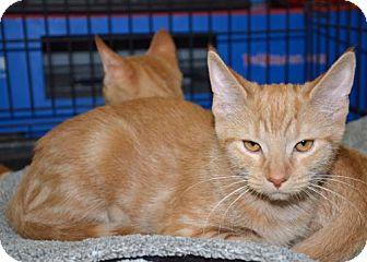 Domestic Shorthair Cat for adoption in Morgantown, West Virginia - Tulip