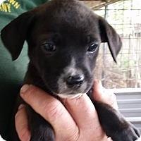 Adopt A Pet :: Cape Fox - Gainesville, FL