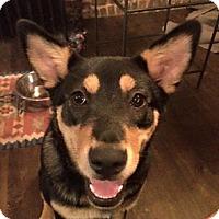 Australian Kelpie Mix Dog for adoption in New York, New York - Ava