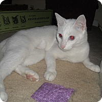 Adopt A Pet :: Snowflake-Blue Eyed Beauty - Arlington, VA