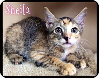 Domestic Shorthair Kitten for adoption in Maumelle, Arkansas - Sheila - 297 / 2016