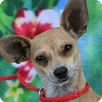 Adopt A Pet :: TRIXI:Low fees:spayd,chipd - Red Bluff, CA