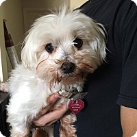 Maltese Mix Dog for adoption in Wichita Falls, Texas - Belle