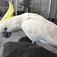 Adopt A Pet :: Sweet Pea - Villa Park, IL