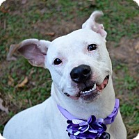 American Staffordshire Terrier/Jack Russell Terrier Mix Dog for adoption in Stone Mountain, Georgia - Bunny