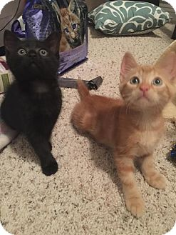 Domestic Shorthair Kitten for adoption in Lakewood, California - HOLLOW-WEEN