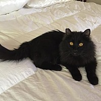 Domestic Longhair Cat for adoption in Las Vegas, Nevada - Anthony