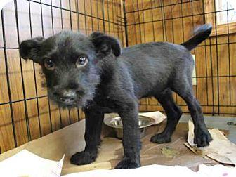 Miniature Schnauzer Mix Puppy for adoption in Wainscott, New York - LUCAS