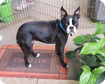 Boston Terrier Dog for adoption in Katy, Texas - Maximus