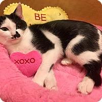 Domestic Shorthair Kitten for adoption in Mebane, North Carolina - Bessie