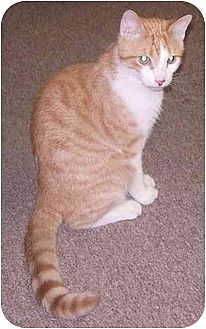 Domestic Shorthair Cat for adoption in Dale City, Virginia - Wilbur