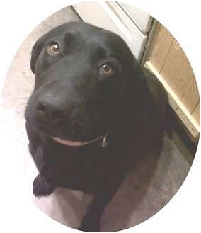 Labrador Retriever Dog for adoption in Phoenix, Arizona - Missy