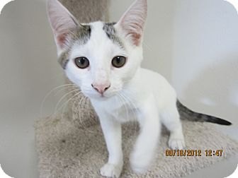 Domestic Shorthair Kitten for adoption in Bunnell, Florida - Snow Ball
