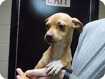 Chihuahua Mix Puppy for adoption in Dallas, North Carolina - DAISY