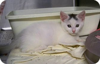 Domestic Shorthair Kitten for adoption in Dover, Ohio - Sprinkles
