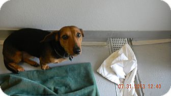 Dachshund Mix Dog for adoption in Sandusky, Ohio - BUDDY