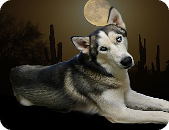 Siberian Husky Dog for adoption in Gilbert, Arizona - Alaska