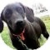 Adopt A Pet :: Bentley - Denver, CO