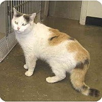 Adopt A Pet :: Miss Kitty - Mesa, AZ