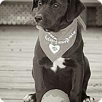Adopt A Pet :: OREO - Albany, NY