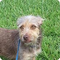 Adopt A Pet :: Taffy - Brattleboro, VT