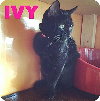 Domestic Shorthair Cat for adoption in Raleigh, North Carolina - Ivy