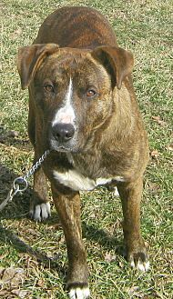 Boxer/Labrador Retriever Mix Dog for adoption in Hillsboro, Ohio - Smudge