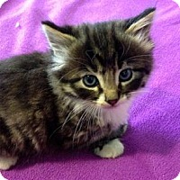 Adopt A Pet :: Adorable Kittens! - Palo Alto, CA