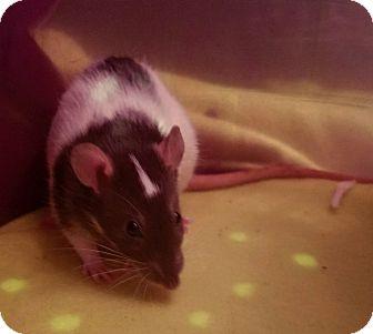 Rat for adoption in Dallas, Texas - Ariel & Daisy