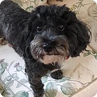Adopt A Pet :: Sophie (RBF) - Harrisonburg, VA