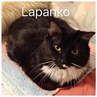 Adopt A Pet :: Lapanko - Satellite Beach, FL
