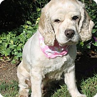 Cocker Spaniel Dog for adoption in Campbell, California - Penelope