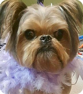 Brussels Griffon Dog for adoption in Euless, Texas - Sarah Hyland