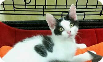 Domestic Shorthair Kitten for adoption in Germantown, Tennessee - Jon Snow