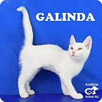 Adopt A Pet :: Galinda - Carencro, LA