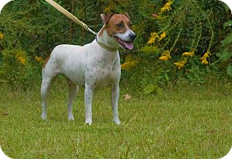 Jack Russell Terrier Mix Dog for adoption in Little River, South Carolina - Reggie