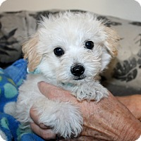 Adopt A Pet :: Teddy - Los Angeles, CA